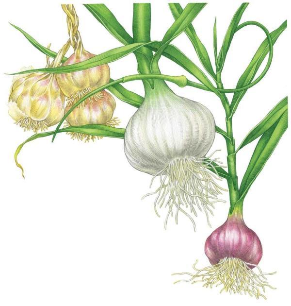 Grow garlic garlic festival foods